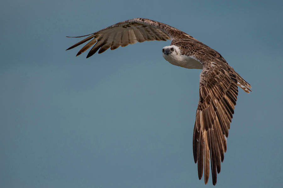 Osprey Photograph - Osprey by Thomas Kallmeyer