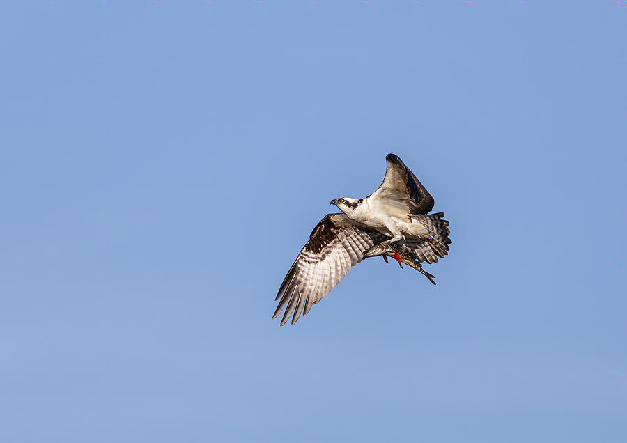 Osprey With Catch 2019 by Thomas Young