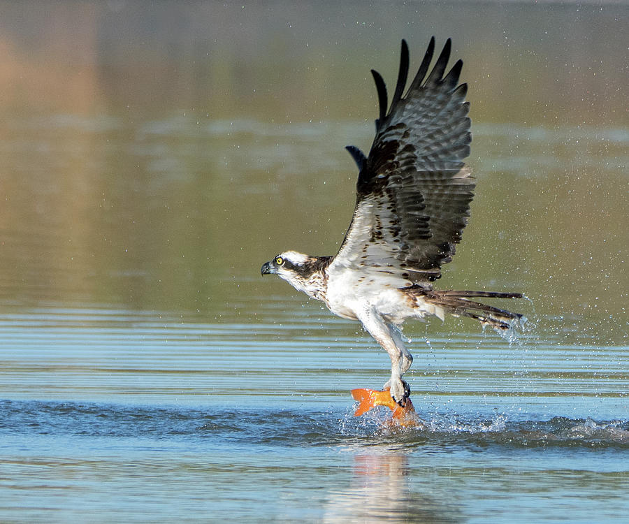 Osprey with Fish 6522-091919 by Tam Ryan