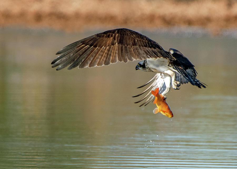 Osprey with Fish 6524-091919 by Tam Ryan
