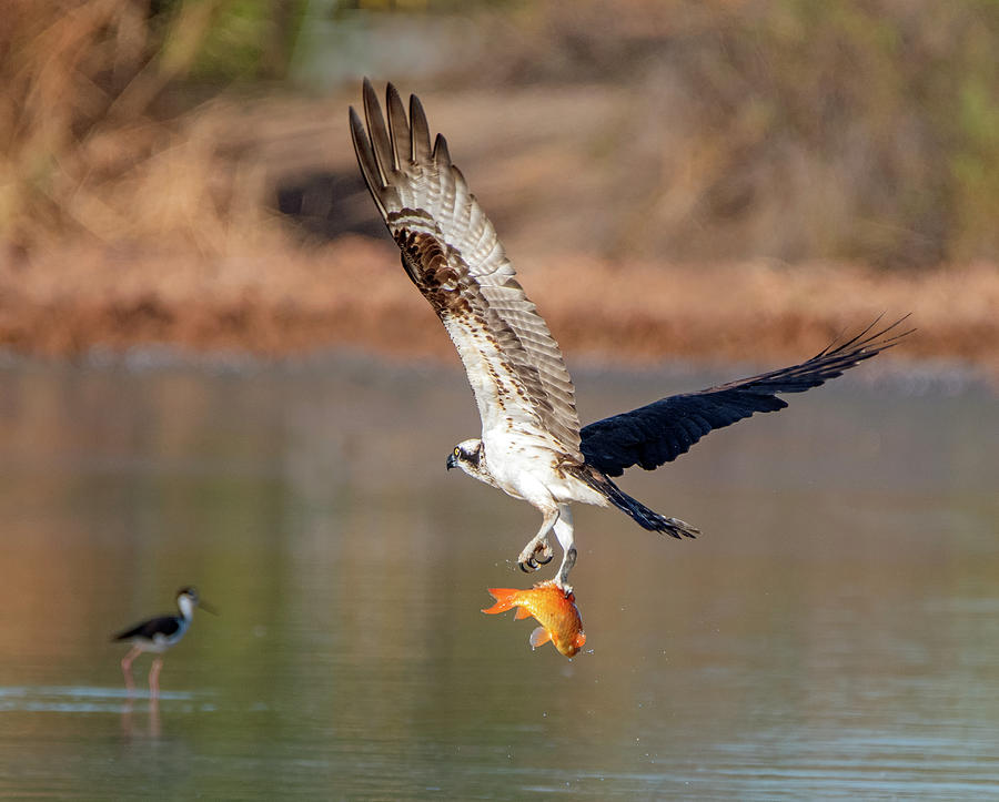 Osprey with Fish 6525-091919 by Tam Ryan