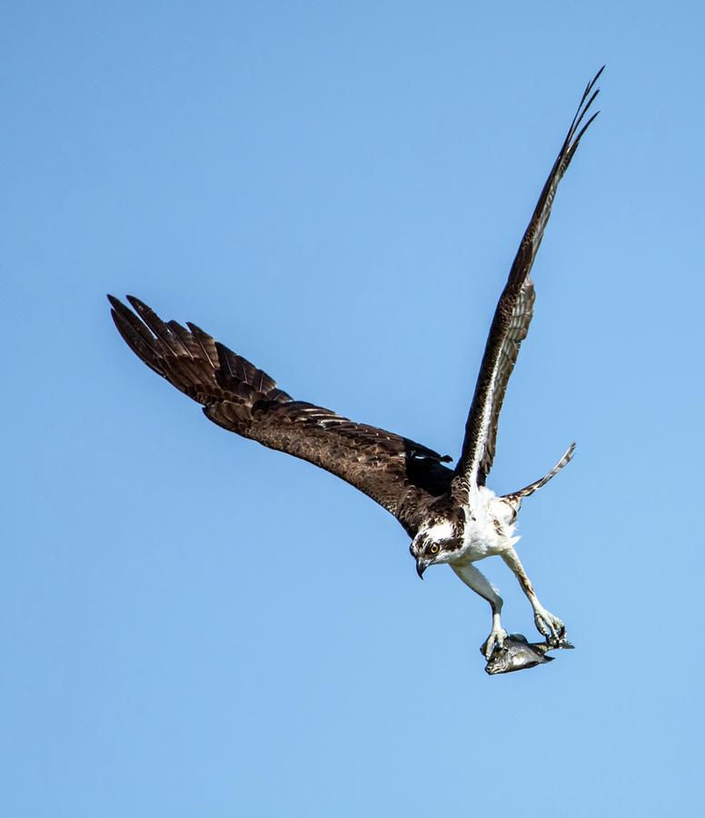 Osprey with Fish 7052-041419 by Tam Ryan