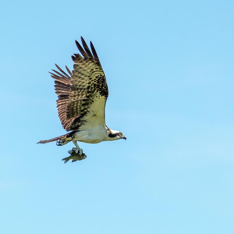 Osprey with Fish 7062-041419 by Tam Ryan