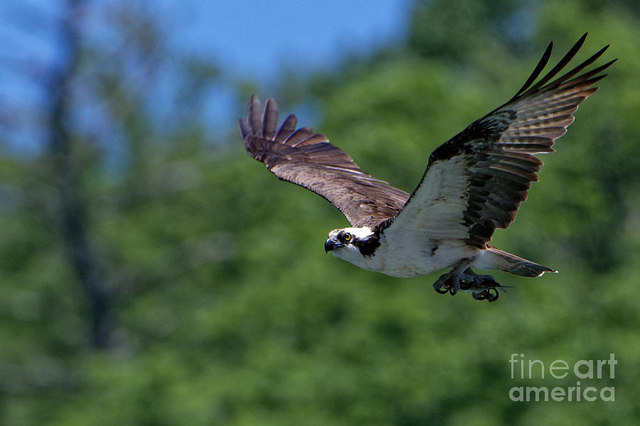 Osprey With Fish by Paul Mashburn