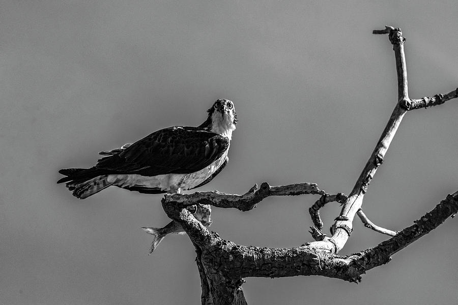 Osprey With Lunch by Cathy Kovarik