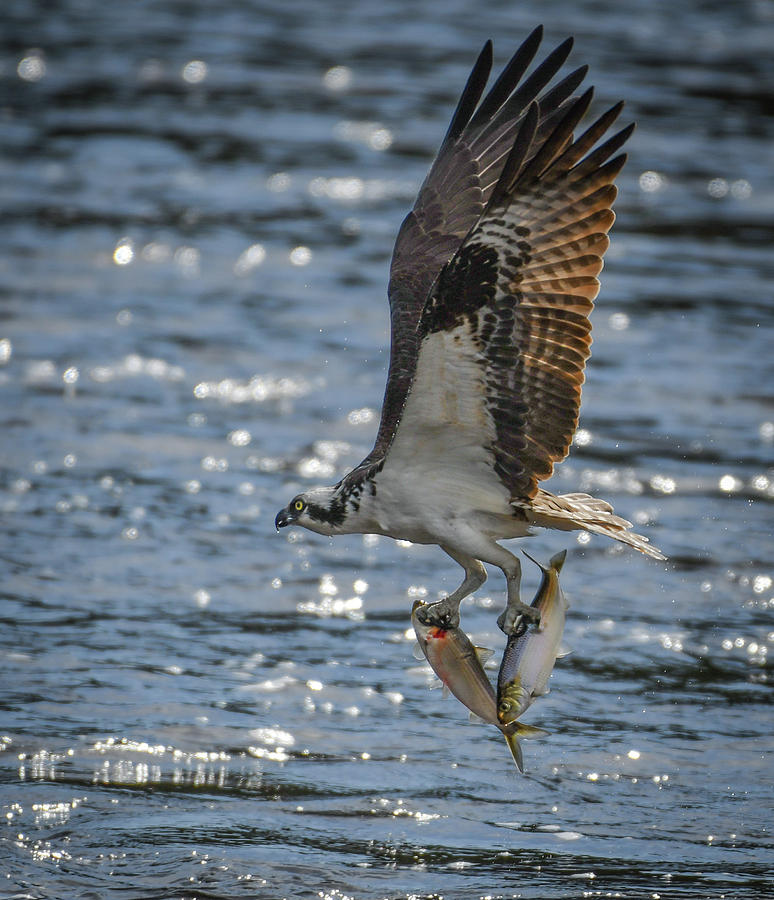 Osprey with two fish by Hershey Art Images