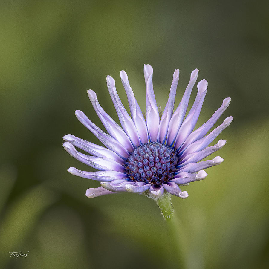 Osteospermum by Fred J Lord