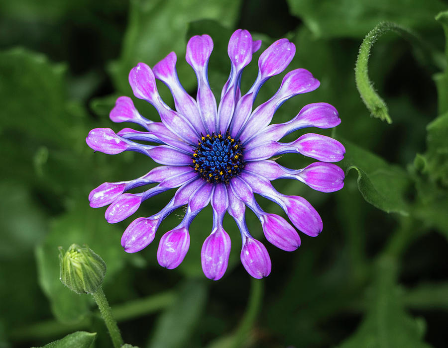 Pretty in Purple - Osteospermum  by Venetia Featherstone-Witty