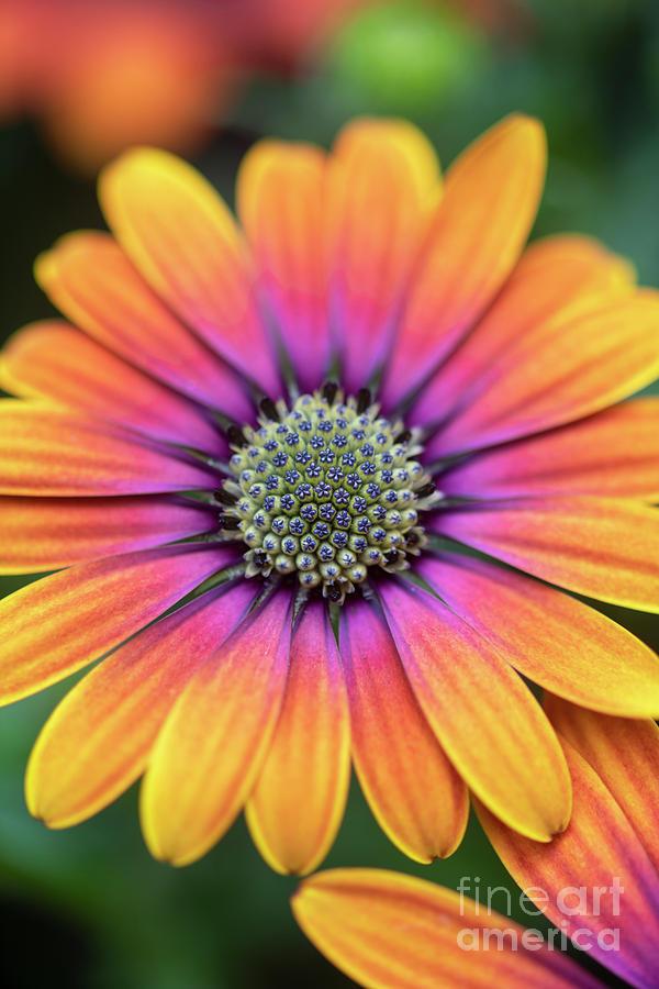 Osteospermum Purple Sun Flower by Tim Gainey