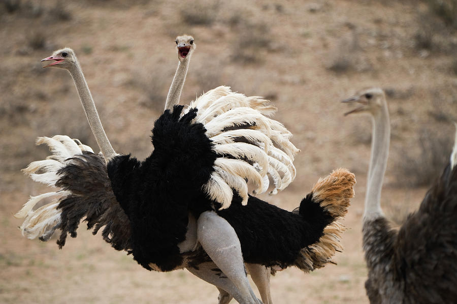 Ostrich Fight Photograph by Franz Aberham
