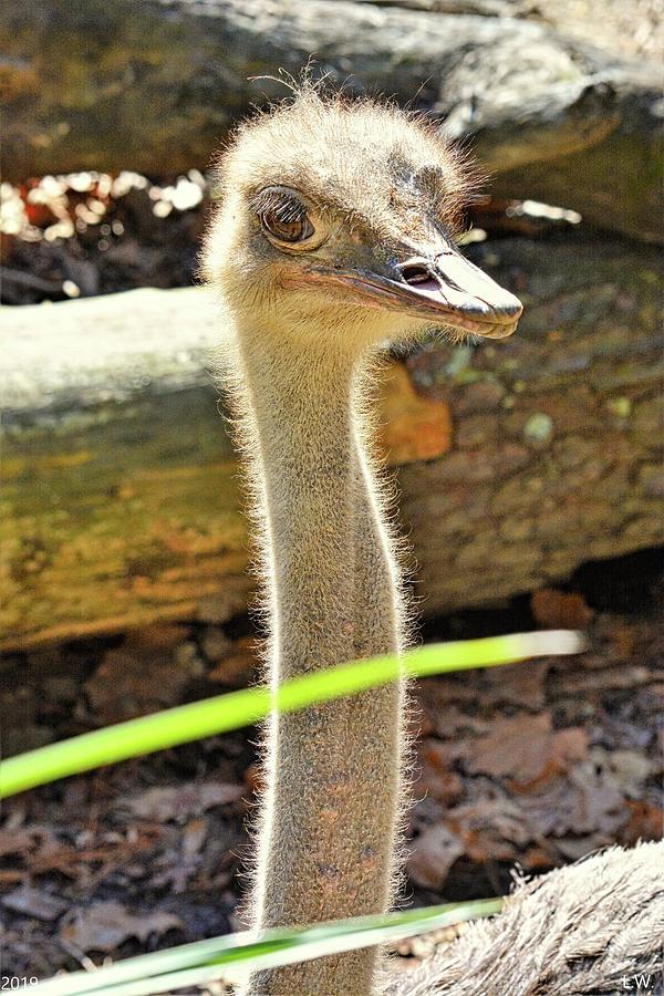 Ostrich by Lisa Wooten