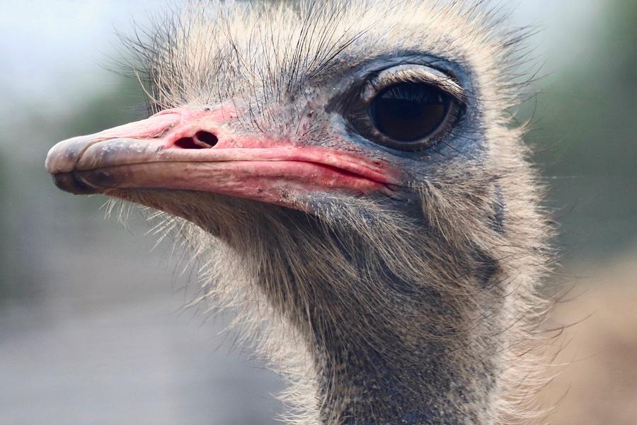 Ostrich by Sarah Lilja