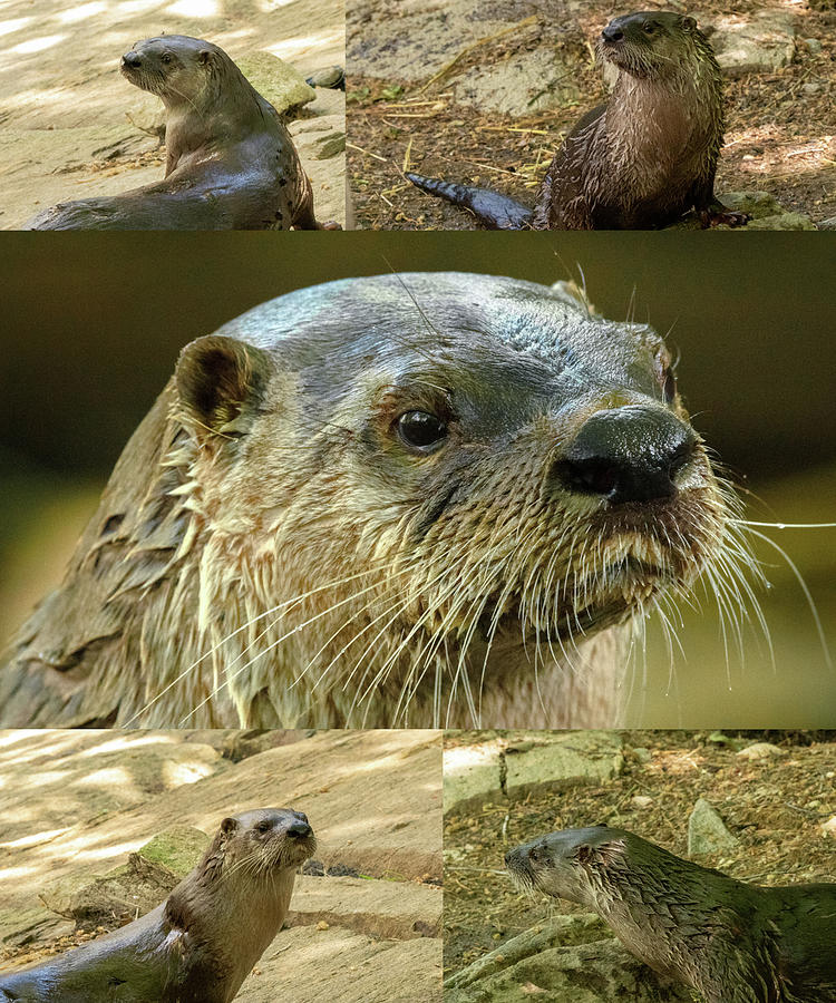 Otter collage by Brian Caldwell
