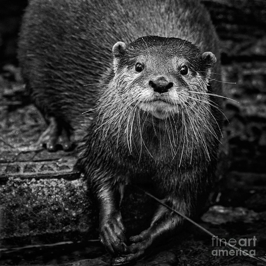 Otter Face by Sonya Lang