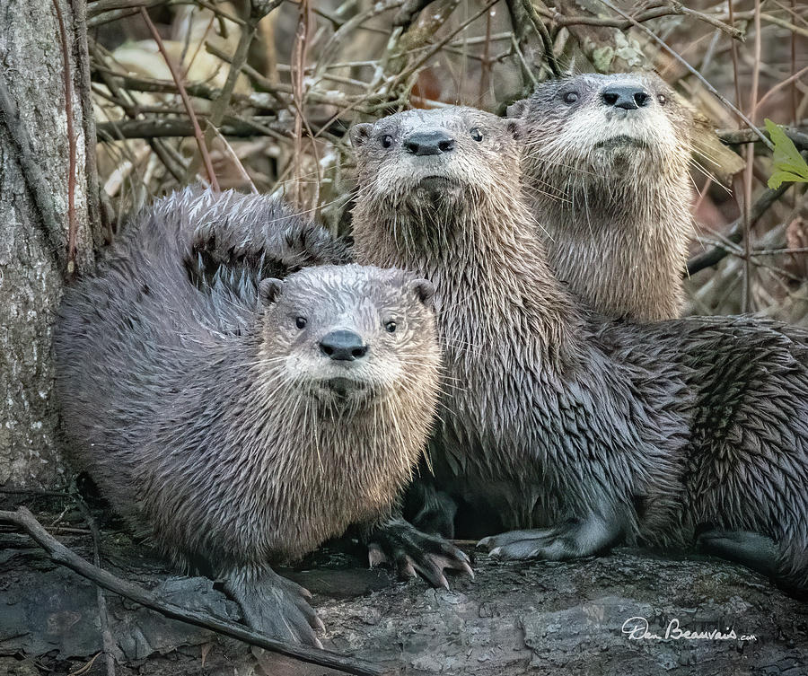 Otter Family Portrait 6081 by Dan Beauvais