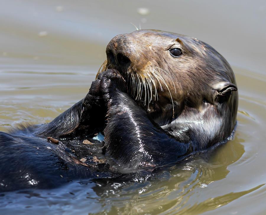 Otter Portrait by Lisa Malecki