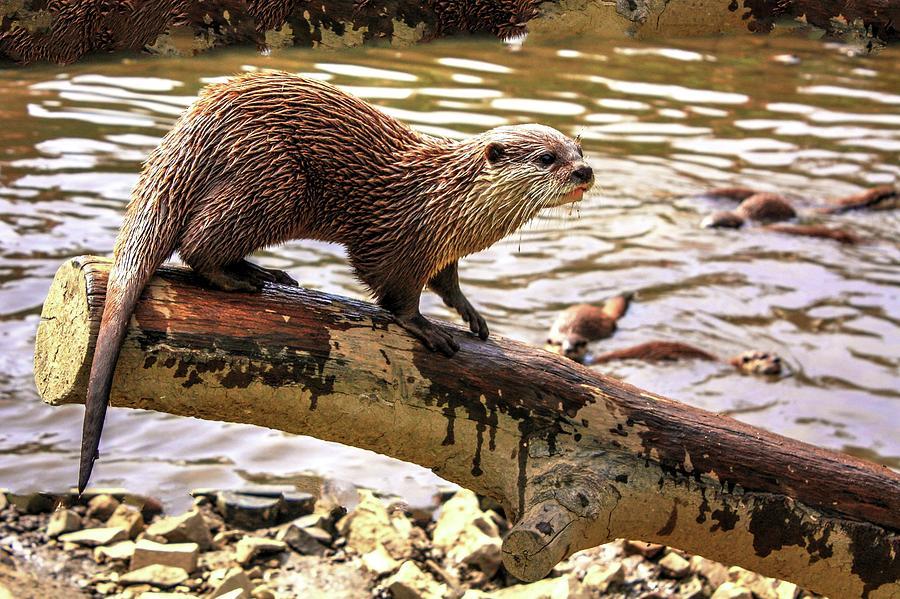 Otter Watch by David Matthews