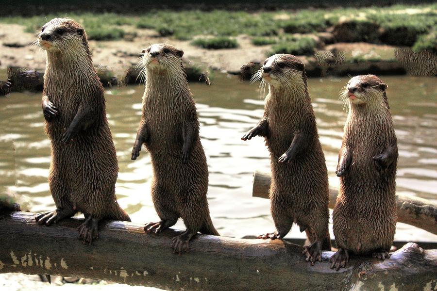 Otters on Guard by David Matthews