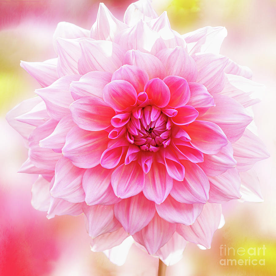 Otto's Thrill Dahlia is a Knockout by Anita Pollak