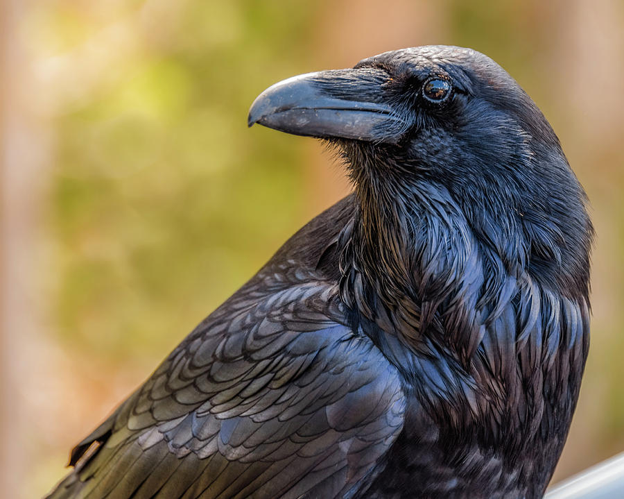 Our Raven Friend by Yeates Photography
