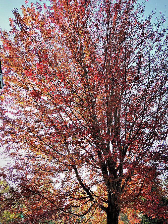 Our Red Maple Photograph