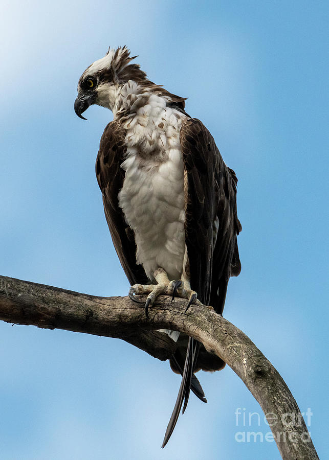 Osprey Photograph - Out On A Limb by Mike Dawson