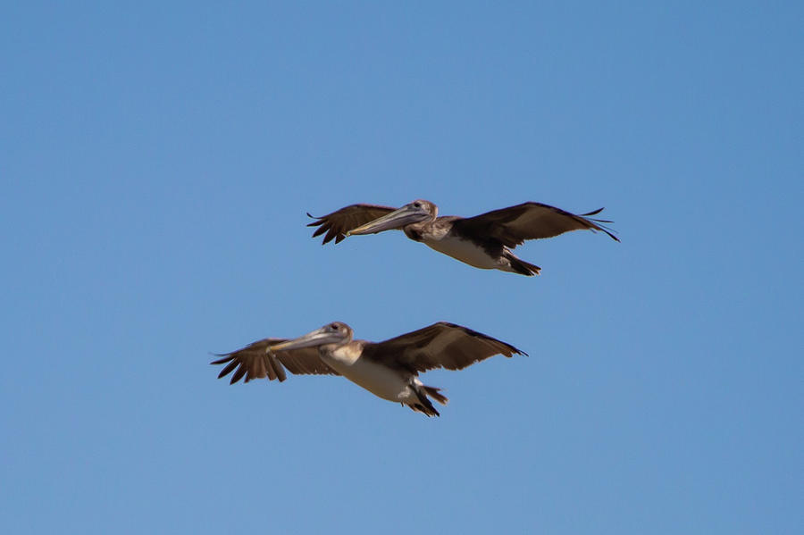 Outer Banks Pelicans by Lora J Wilson