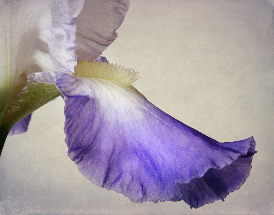 Outstanding Iris Petal by David and Carol Kelly