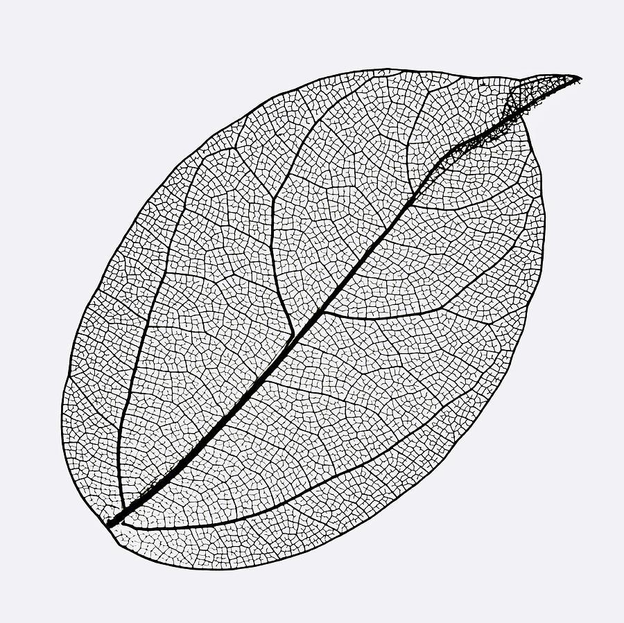Oval Skeleton Leaf On White Background. by Gary Slawsky