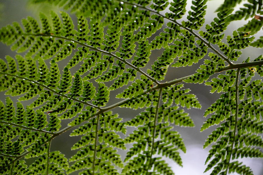 Fern Photograph - Overhead Fern by Norman Burnham