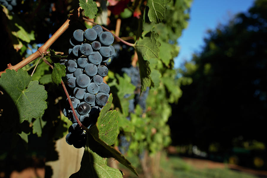 Overripe Grapes Hanging On Vine Photograph by Klaus Vedfelt