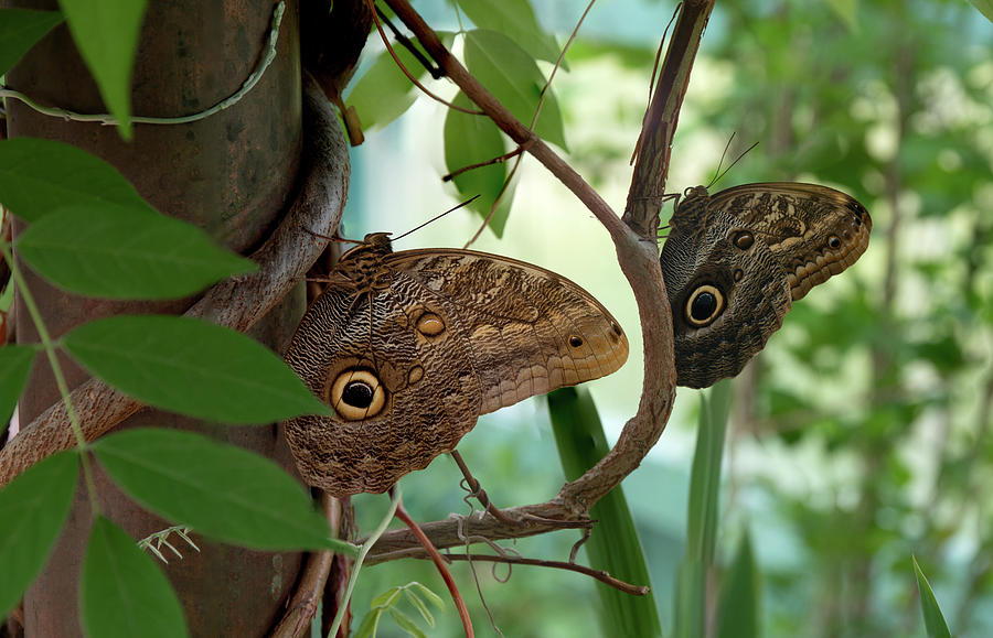 Owl Butterfly by Dean Ginther