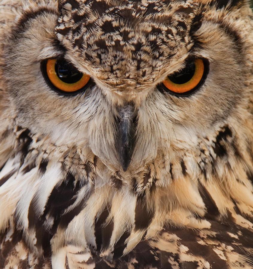 Owl Face Closeup Photograph by Jimmytrueno