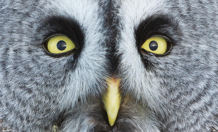 Owl Face Photograph by Werner Van Steen