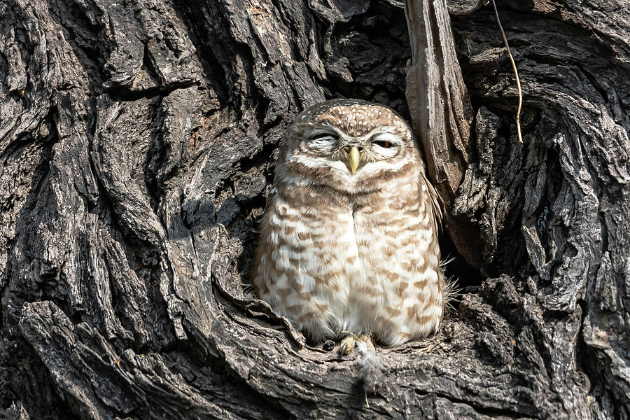 Bird Digital Art - Owl In A Tree by Pravine Chester