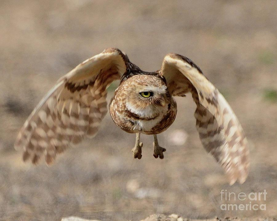 Owl in Flight by Robert Buderman