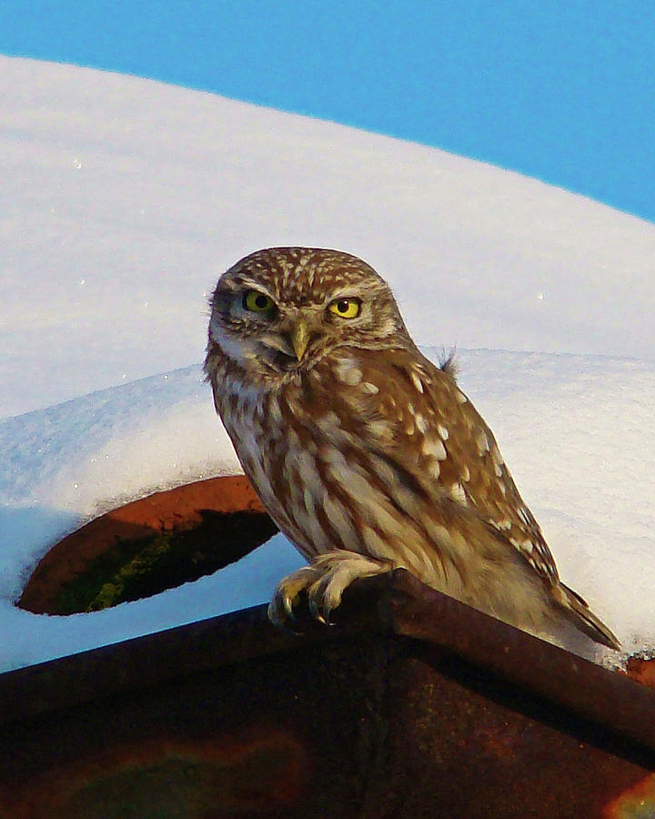 Owl on a snowy roof by Darren Weeks