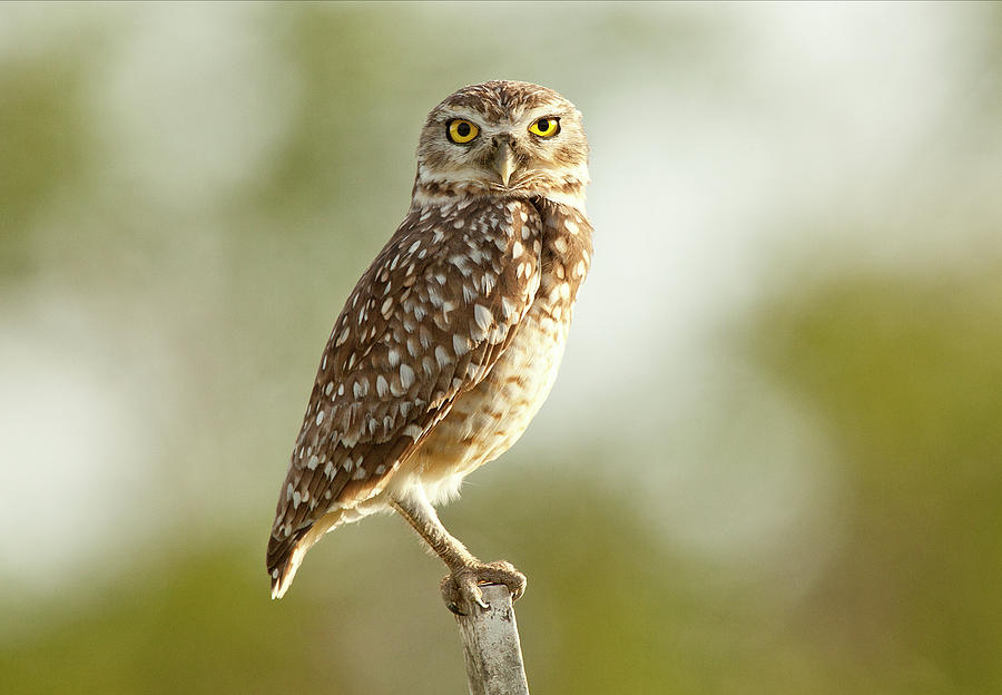 Owl On Blurred Background Photograph by © Jackson Carvalho