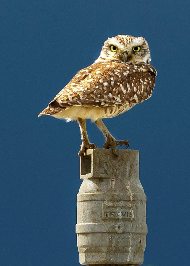 Owl on the Sprinkler Head by Jack Peterson