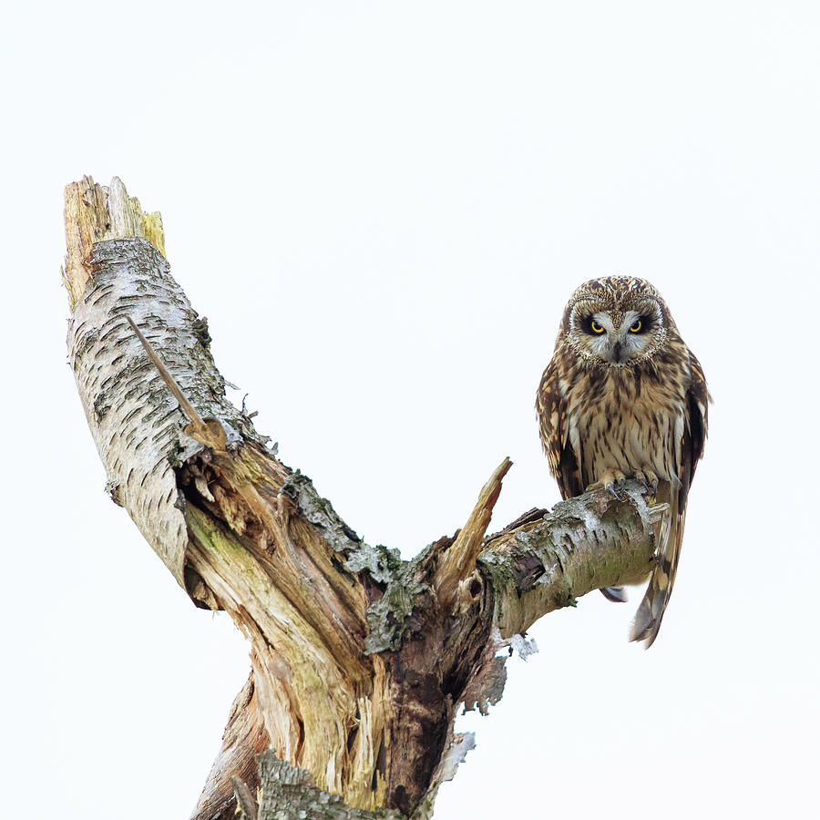 Owl on Tree Stump by Briand Sanderson