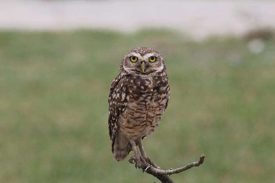 Owl Perching On Branch Photograph by Sale