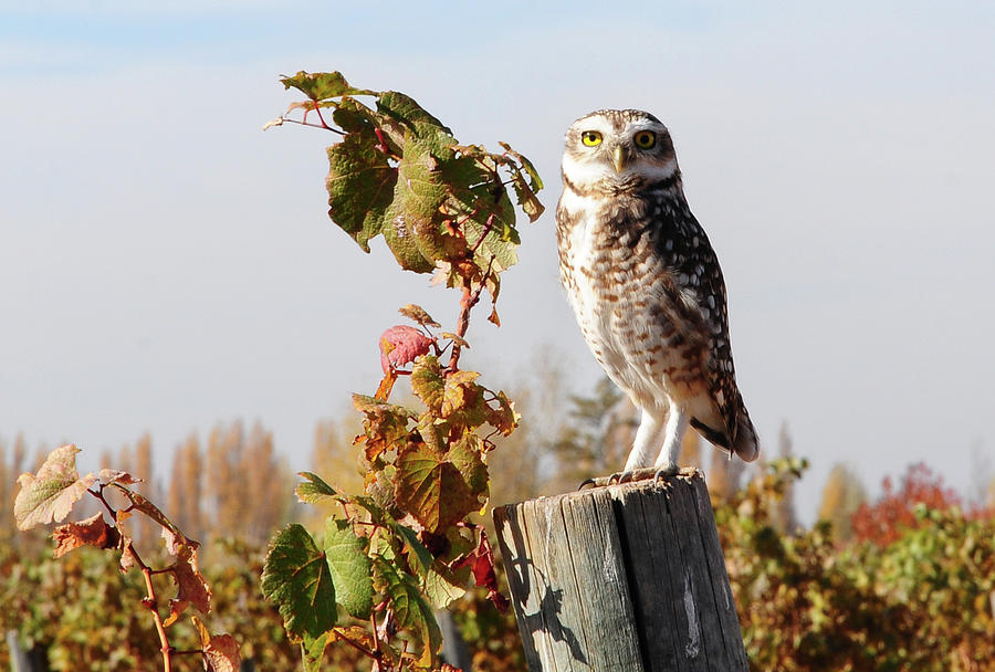 Owl Perching On Post Photograph by Dedé Vargas