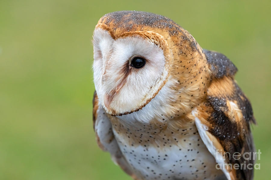 Common Barn Owl Portrait by Alma Danison