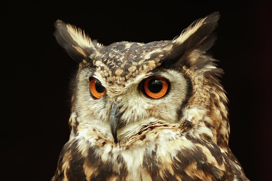 Owl Potrait Photograph by Katherine Pocklington