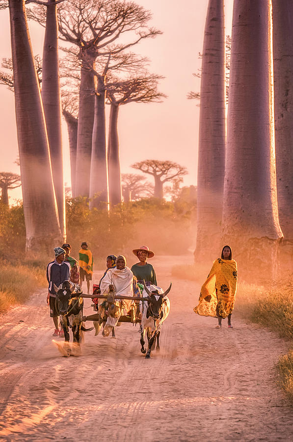 Ox Cart On The Avenue Of The Baobabs Photograph by Cultura Rm Exclusive/romona Robbins Photography