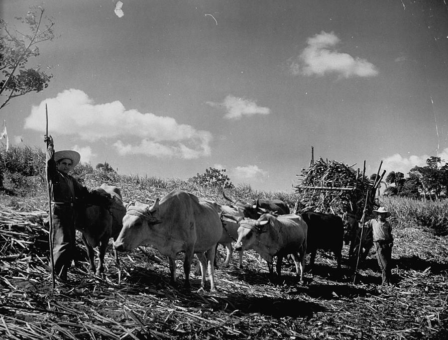 Oxen And Farmers Working On A Sugar Cane Photograph by Hansel Mieth