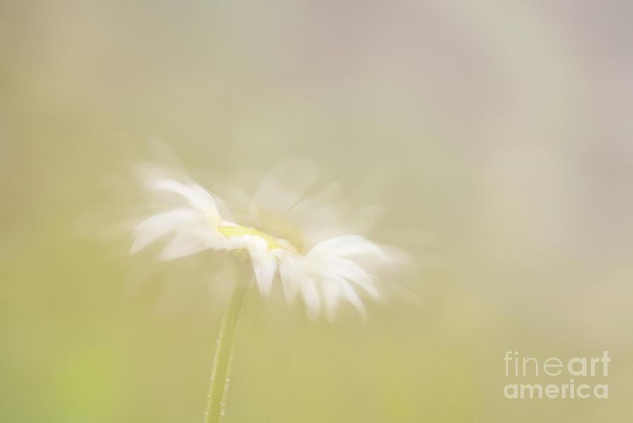 Oxeye Daisy by Janet Burdon