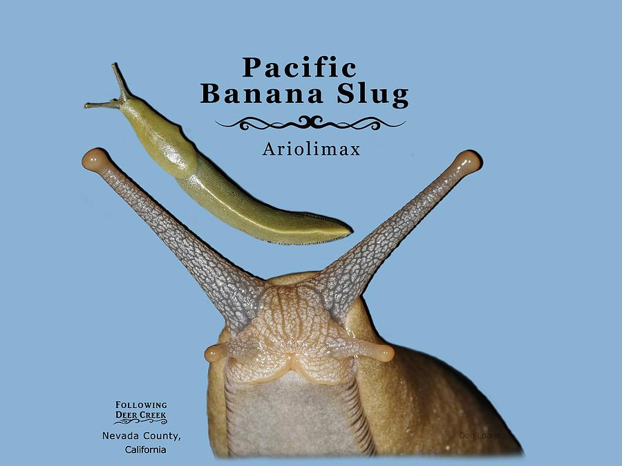 Slug Digital Art - Pacific Banana Slug by Lisa Redfern