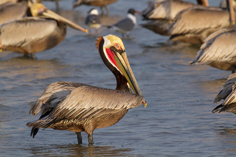 Animal Photograph - Pacific Brown Pelican by Ivan Kuzmin