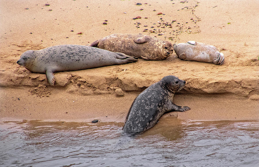 Pacific Harbor Seals on the Beach by Carolyn Derstine